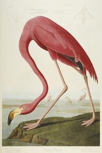 American Flamingo, from 'The Birds of America' by John James Audubon