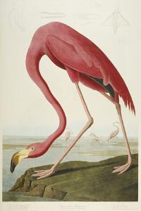 American Flamingo, from 'The Birds of America' by John James Audubon