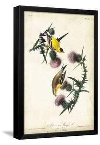 American Goldfinch by John James Audubon