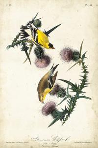 American Goldfinch by John James Audubon