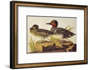 American Green-Winged Teal by John James Audubon
