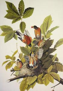 American Robin by John James Audubon