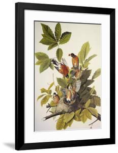 American Robin by John James Audubon