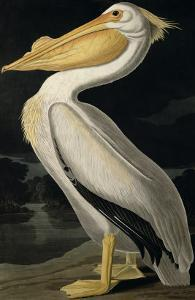 American White Pelican, from Birds of America, Engraved by Robert Havell by John James Audubon