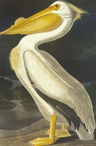 American White Pelican by John James Audubon