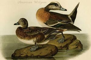 American Widgeon by John James Audubon