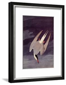 An Artic Tern, 1833 by John James Audubon