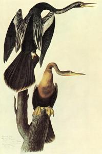 Anhinga by John James Audubon