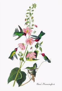 Anna's Hummingbird by John James Audubon