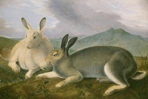Arctic Hare, c.1841 by John James Audubon