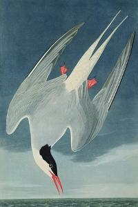 Arctic Tern, from 'Birds of America', Engraved by Robert Havell (1793-1878) Published 1835 by John James Audubon
