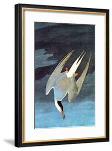 Arctic Tern by John James Audubon