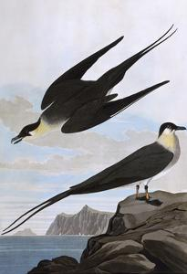 Arctic Yager by John James Audubon