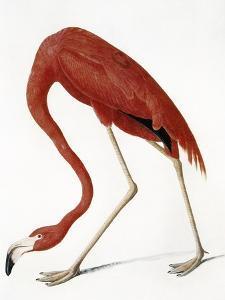 Audubon: American Flamingo by John James Audubon