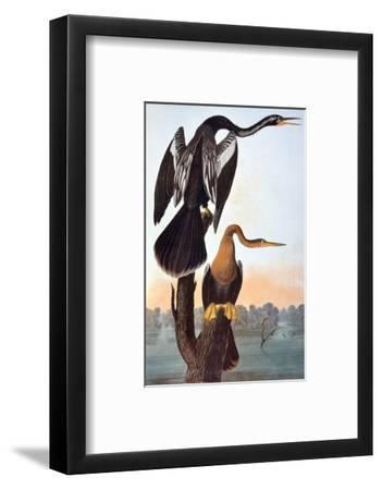 Audubon: Anhinga