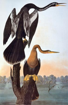 Audubon: Anhinga by John James Audubon