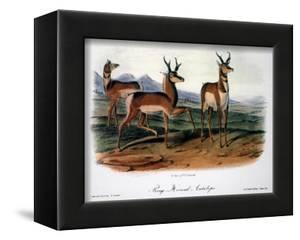 Audubon: Antelope, 1846 by John James Audubon