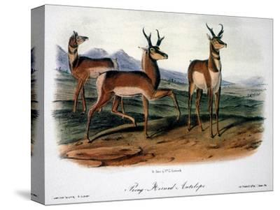 Audubon: Antelope, 1846