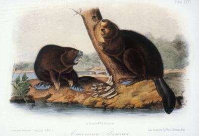 Audubon: Beaver, 1846 by John James Audubon