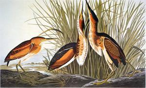 Audubon: Bittern by John James Audubon