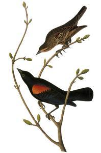 Audubon: Blackbird by John James Audubon