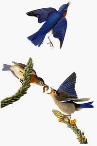 Audubon: Bluebird by John James Audubon