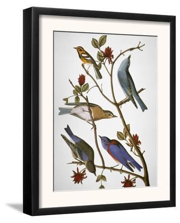 Audubon: Bluebirds