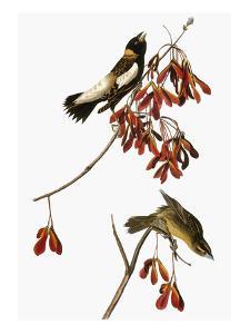 Audubon: Bobolink by John James Audubon