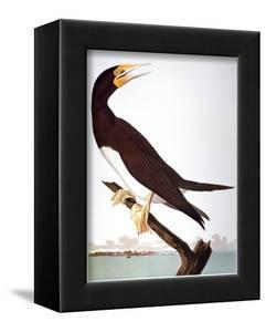 Audubon: Booby by John James Audubon