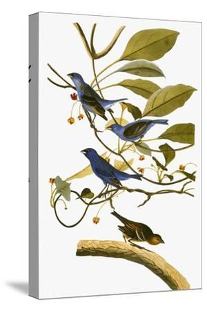 Audubon: Bunting, 1827-38