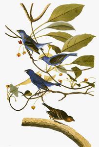 Audubon: Bunting, 1827-38 by John James Audubon
