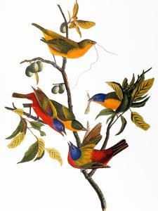 Audubon: Bunting, 1827 by John James Audubon