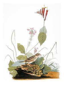 Audubon: Bunting by John James Audubon