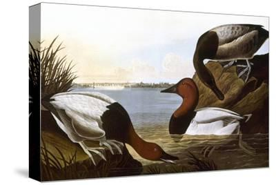 Audubon: Canvasback, 1827