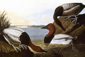 Audubon: Canvasback, 1827 by John James Audubon