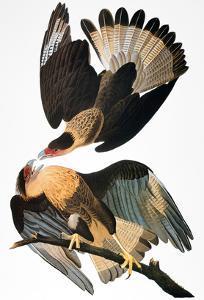 Audubon: Caracara, 1827-38 by John James Audubon