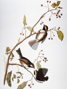 Audubon: Chickadee by John James Audubon