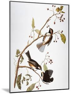 Audubon: Chickadee by John James Audubon
