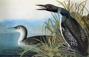 Audubon: Common Loon by John James Audubon