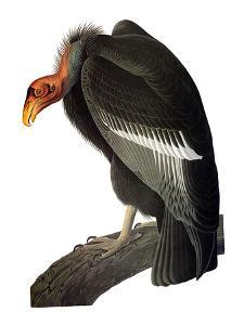 Audubon: Condor by John James Audubon