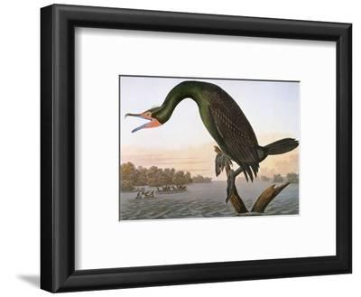 Audubon: Cormorant
