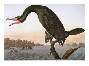 Audubon: Cormorant by John James Audubon