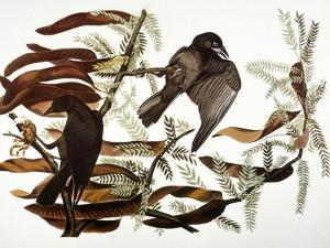 Audubon: Crow by John James Audubon