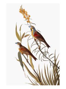 Audubon: Dickcissel by John James Audubon