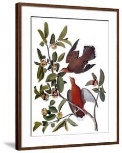 Audubon: Dove, 1827-38 by John James Audubon