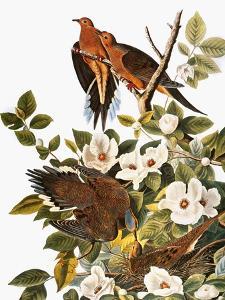 Audubon: Dove by John James Audubon
