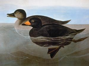 Audubon: Duck, 1827 by John James Audubon