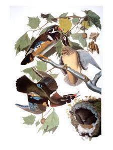 Audubon: Duck by John James Audubon