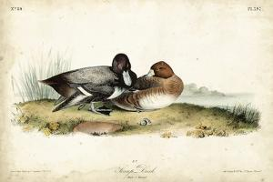 Audubon Ducks IV by John James Audubon
