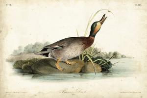 Audubon Ducks V by John James Audubon